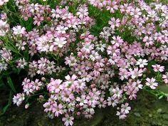 Amazon.com: Rose Babies Breath Perennial 8 Plants - Gypsophila: Patio, Lawn & Garden