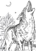 North American Wildlife Coloring Pages Free Coyote Coloring