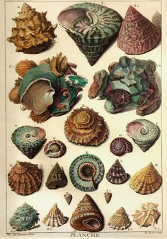 SHELLS Art Print Frameable Original 2009 Book Plate XII Beautiful Shells French Limacons Ocean Marine Sea Life in Aqua, Pink, Golden Brown