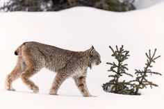 A female Canada lynx in the Canadian Rockies - Colleen Gara (@colleengaraphoto) on Instagram #BigCatFamily