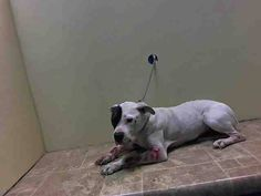 SAFE RTO - 04/04/15 - SUPER URGENT 03/31/15 Brooklyn Center JENNIFER - A1031792 SPAYED FEMALE, WHITE / BROWN, PIT BULL MIX, 3 yrs STRAY - Intake condition INJ SEVERE Intake Date 03/31/2015