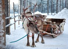 Reindeer in Finnish Lapland waiting for Santa Claus