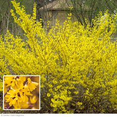 Forsythia are fast-growers that need annual pruning. Since they flower on old wood, prune them back immediately after their flowers fade.