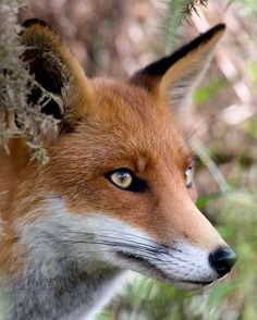 Mr. Fox, who looks so wise, and he's got the wildly beautiful eyes.