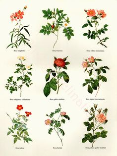 Vintage BOTANICAL Chart Print REDOUTE ROSES 18 varieties flower illustrations, perfect to frame. $10.50, via Etsy.