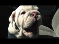 """Bentley the Bulldog Puppy is Fussy pt. 2"" Dawwwww! The most adorable beastly sounds ever."