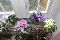 Some of my Standard African Violets - (left to right) The Alps, Pink Noid, Funambule, Frozen in Time.