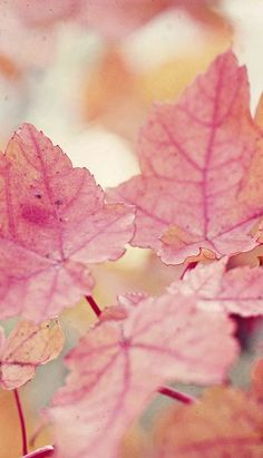 A Detox Fasting Paradise - Pristine Non-public Island - Coconut, The Tree Of Life And Organic And Natural Raw Food Items Autumn Pink Fall Leaves Soft Autumn, Autumn Leaves, Autumn Flowers, Autumn Fall, Color Salmon Claro, Bokeh, Pink Leaves, Everything Pink, Belle Photo