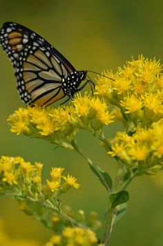 Solidago rigida (Stiff Goldenrod) isn't it beautiful? Even better with our betterflies back Butterfly Garden Plants, Fall Shows, Prairie Garden, Tomato Seeds, Garden Seeds, Shades Of Red, Native Plants, Garden Inspiration, Perennials