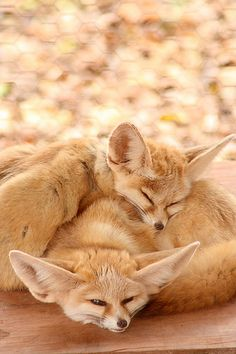 Two Fennec Fox Kits Napping. (by sangderenard). Animals And Pets, Baby Animals, Funny Animals, Fennec Fox Pet, Fantastic Fox, Wild Creatures, Cute Fox, Wild Dogs, Cute Little Animals