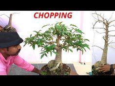 Chopping in bonsai, Baobab bonsai, Adansonia digitata, Kalpvriksh plant ,Part 1 Bonsai Soil, Bonsai Plants, Murraya Paniculata, Weird Trees, Live Plants, Bonsai