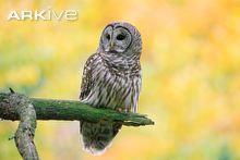 barred-owl-on-broken-pine-branch