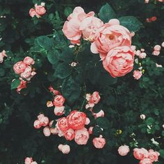 pink and pretty peonies. My Flower, Wild Flowers, Beautiful Flowers, Pretty Roses, Plants Are Friends, Mother Nature, Planting Flowers, Floral Arrangements, Rose Bush