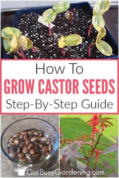 How To Grow Castor Bean Plant From Seed It's not difficult to grow castor bean seeds once you know h Fall Vegetables, Growing Vegetables, Growing Plants, Growing Tomatoes, Garden Seeds, Planting Seeds, Gardening For Beginners, Gardening Tips, Castor Bean Plant