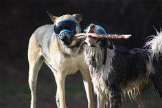 The playful dogs are wearing Rex Specs.