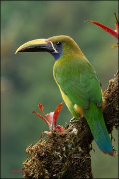 EMERALD TOUCANET - Aulacorhynchus prasinus . . . Mountains from Mexico, C America to N Venezuela, along Andes to C Bolivia.