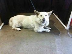 Koda is an adoptable Welsh Corgi Dog in Lomita, CA. This outgoing, medium size corgi and possible German Shepherd mix 2 year old male is at the high kill, overcrowded San Bernardino City Shelter. His...