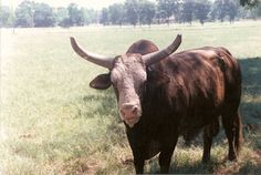 Taking Care Of Business. (The bull that killed Lane Frost)