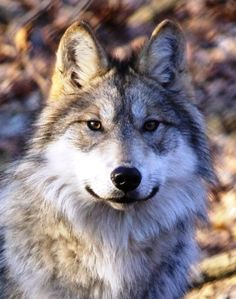 I smile so pretty! Animals Are Beautiful People, Majestic Animals, Rare Animals, Beautiful Creatures, Strange Animals, Wild Animals, Wolf Images, Wolf Pictures, Animal Pictures