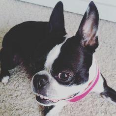 Sophie the Boston Terrier