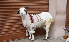 Photo Essay: Goats in Sweaters - http://modernfarmer.com/2013/11/goats-sweaters/?utm_source=PN&utm_medium=Pinterest&utm_campaign=SNAP%2Bfrom%2BModern+Farmer