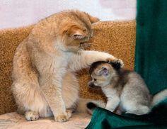 NICE #KITTY - Soft Kitty, Warm Kitty...Little Ball of Fur...Happy Kitty...Sleepy Kitty...Purr Purr Purr! >^..^