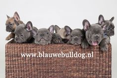 Blue French Bulldogs – Breed Information, Price, Facts, Loyal Or Not, Where to Buy Blue French Bulldog Puppies, French Bulldog Breed, French Bulldogs, Puppies And Kitties, Cute Puppies, Doggies, French Dogs, Dog Facts, Cool Pets