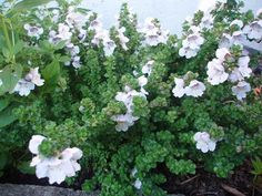 Prostanthera cuneata - -or sunny spot in Nfacing bed edge Planters, Garden, Garten, Lawn And Garden, Gardens, Plant, Window Boxes, Gardening, Outdoor