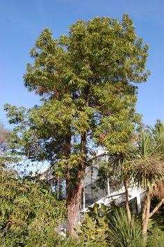 LYFL / Lyonothamnus floribundus 'asplenifolius' - Fernleaf Catalina Ironwood / Evergreen / Full Sun / Moderate Water / 20-35 Feet High and 15 Feet Wide