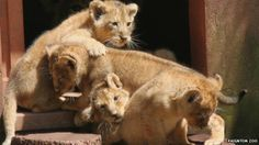 baby asian lion cubs