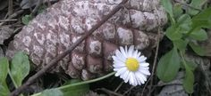 Pine Cone, Daisy, Nature, photography