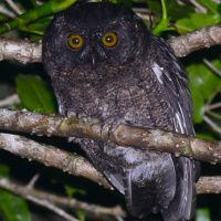 Grand Comoro Scops Owl Image 1