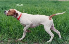 Full Point by an orange and white English Pointer.