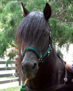 The majestic Morgan horse has been added to the American Livestock Breed Conservancy's list of endangered livestock breeds.   Read more: http://www.motherearthnews.com/homesteading-and-livestock/endangered-livestock-zmgz13aszsto.aspx#ixzz2ZxyRqpT6