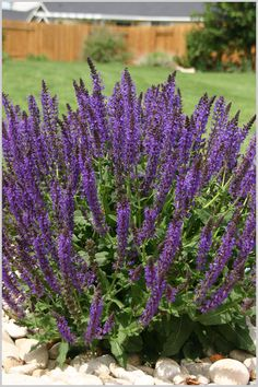 purple salvia ~ I have this planted in my front flower beds. Texas Landscaping, Landscaping With Rocks, Front Yard Landscaping, Love Garden, Dream Garden, Lawn And Garden, Outdoor Plants, Outdoor Gardens, Outdoor Decor