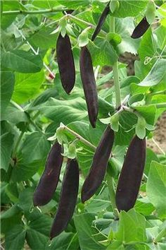 Mangetout pea 'Shiraz' has flat purple pods and is resistant to mildew ...