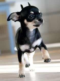 Cute little Black Chihuahua running on the floor The Chihuahua is the smallest.... to see more click on picture