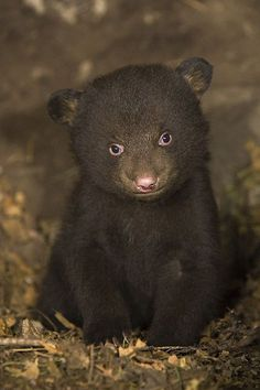 7 weeks old black bear cub in den by Suzi Eszterhas. What a cutie!