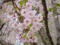 「学校記念樹紅枝垂桜」 碑文谷事務所前  2012/04/13