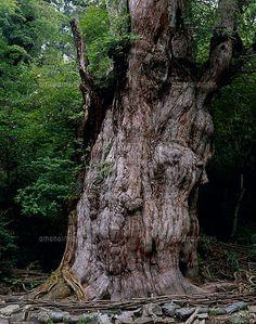 屋久島を代表する古木 縄文杉 島の90%が森林の神秘の島。ユネスコ世界遺産にも指定されている屋久島のおすすめスポットを集めました!  1 saves