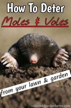 To Deter Ground Moles And Voles From The Yard & Garden Naturally How To Deter Moles & Voles from your lawn and garden. How To Deter Moles & Voles from your lawn and garden. Garden Pests, Garden Tools, Garden Ideas, Garden Insects, Garden Fertilizers, Moles In Yard, Mole Repellent, Vintage Garden Decor, Gardening Tips