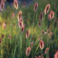 Pennisetum thunbergii 'Red Buttons'. A delightful deciduous grass producing these attractive seedheads from July-September. They will fade to a soft fawn colour, up to 60cm x 50cm but a late starter.