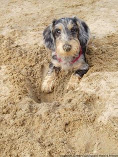 Wire haired Dachshund, their little beards kill me with cuteness #Dachshund