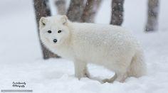 papier peint le renard arctique, blanc, renards, le renard polaire, hiver, neige Desktop - le nombre d'images652201