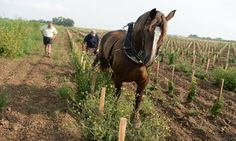 French vineyards revive horse-drawn ploughs