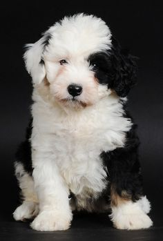 old english sheep dogs are soooo cute when they're puppies!  not too bad when they're grown up, either :-)
