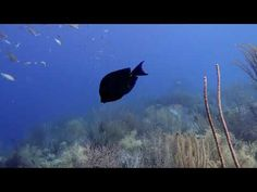 PHIL SWAIN - Ocean Life in Bonaire - YouTube Sea Video, Caribbean Sea, South Pacific, West Indies, Ocean Life, Costa, Whale, Cool Pictures, Youtube
