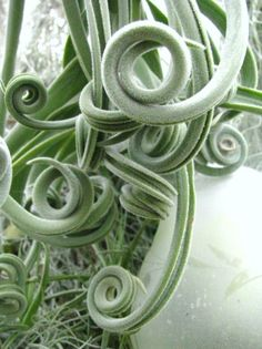 Photo of Medusa's Head (Tillandsia caput-medusae) uploaded by nap