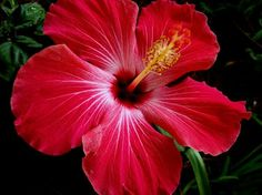 Hawaiian State Flower