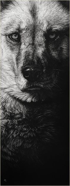 Wolf and dog drawings on scratchboard by Cristina Penescu - Made In Slant Scratchboard Art, Scratch Art, Clip Art, Black And White Drawing, Wildlife Art, Dog Portraits, Dog Art, Art Techniques, Cool Artwork